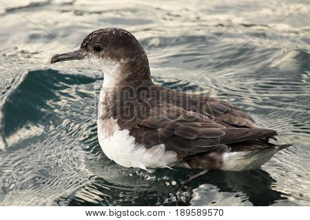 A Fluttering Shearwater resting on the ocean in the Marlborough Sounds of New Zealand.