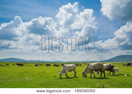Cows Eating Grass In Green Field