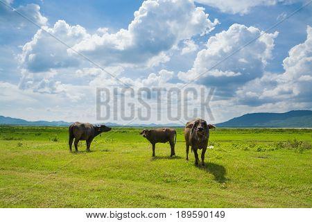 Buffalo Eating Green Grass In Green Grass Field