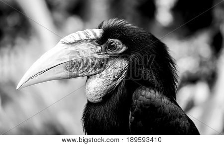 Hornbill tropical Old World bird in forest, black and white