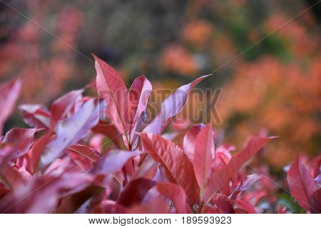 Purple Flowering Sandcherry in full leaf. Prunus cistena. Purple leaf sand cherry is a classic medium-sized deciduous shrub with striking reddish-purple leaves.