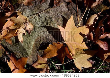 Background of yellow and brown autumn leaves. Fallen autumn leaves on the ground.