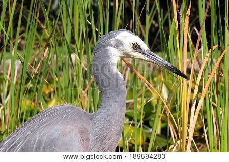 Grey gray Heron waterbird water bird searching for minnows to eat in a pond poster