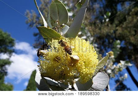 Big yellow native Australian gum nut tree blossom flowers in bloom against a blue sky with bee