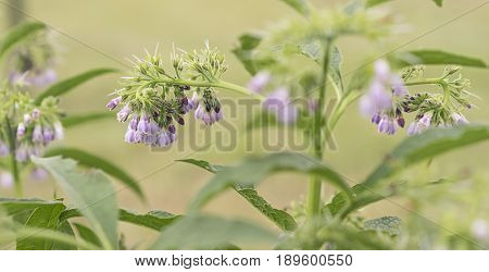 Purple blue comfrey or comphrey flowers with leaves in panoramic view