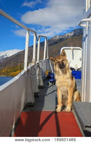 Funny dog traveling on ship board in sunny day, on autumn landscape background
