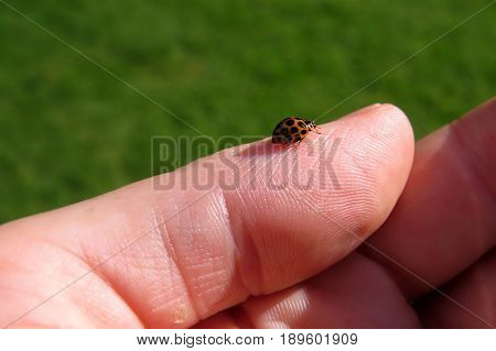 Ladybird ladybug sits on the tip of a human finger thumb hand tiny orange spotted lady bird