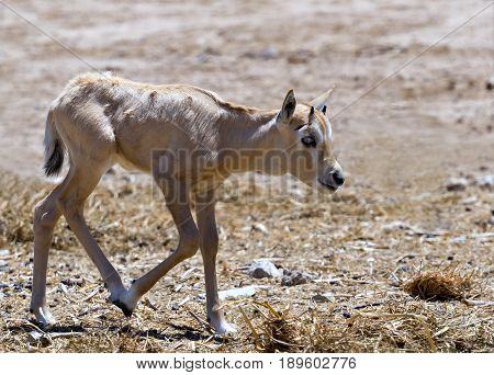 Baby of antelope Arabian white oryx (Oryx dammah) inhabits the Israeli nature reserve because this species is in danger of extinction in its native environment of Sahara desert