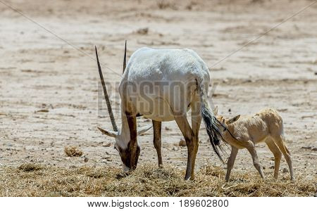 Family of antelope Arabian white oryx (Oryx dammah) inhabits the Israeli nature reserve because this species is in danger of extinction in its native environment of Sahara desert