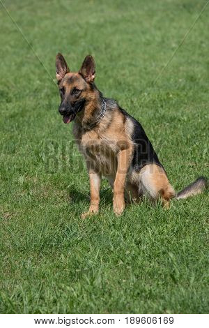 German Shepherd sitting on the green grass. Selective focus