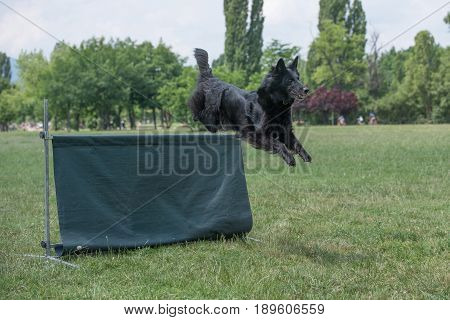 Belgian Shepherd on agility competition over the bar jump. Proud dog jumping over obstacle. Selective focus on the dog