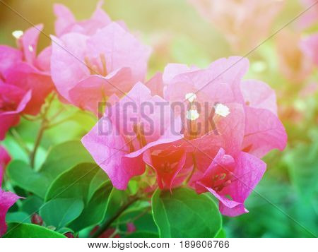 Nature background concept : Beautiful pink Lesser Bougainvillea flowers in garden
