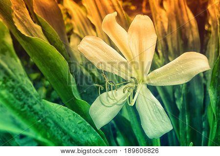 Crinum Lily Blooming Spring Flower in Garden  Background