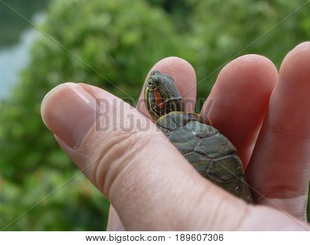 Small turtle on a hand with leaves and water on the background