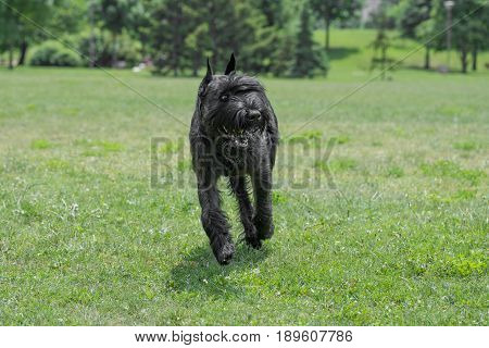Close up of Black Giant Schnauzer or Riesenschnauzer dog outdoor