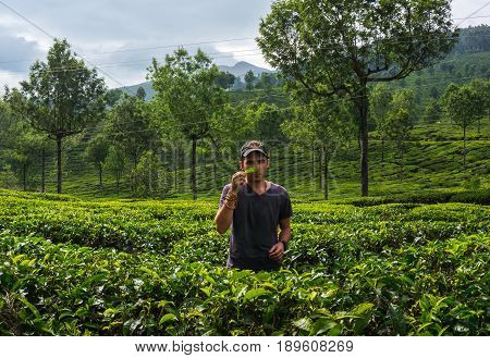 Young man sniffing a leaf tea Bush to the tea plantation. Tourist in Munnar Kerala India.