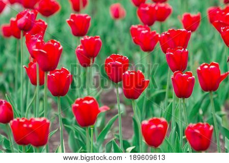Closeup shot of red tulips flowers background