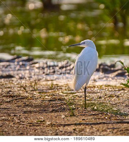 Little Egret In A Swamp
