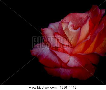 Red rose flower on black background for love condolence or celebration