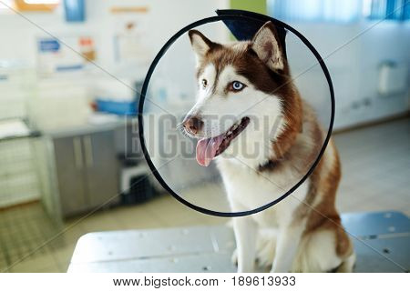 Husky dog with funnel collar during visit to vet