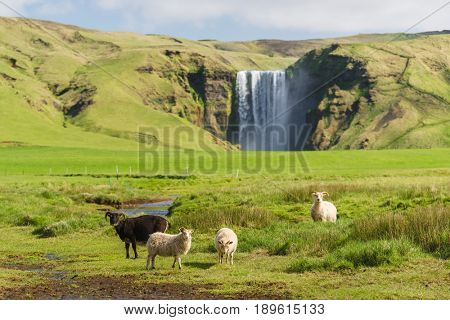 Skogafoss waterfall. Sheep in the pasture. Summer landscape on a sunny day. Amazing in nature