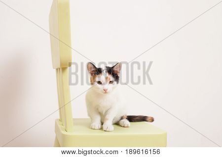 White tricolor kitten sitting on a green children's chair and squint eyes. The background image place for text.