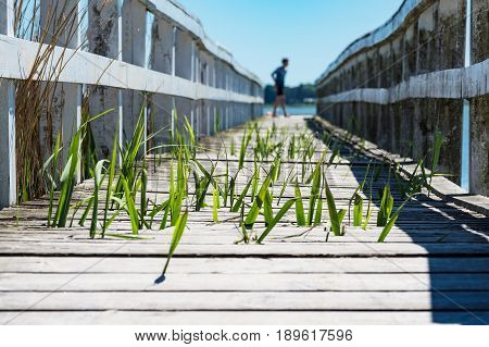 An old landing stage with green reeds.