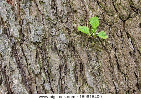 A tree trunk with young green sapling.