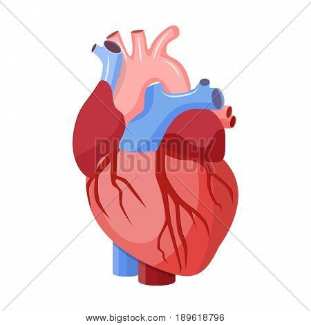 Anatomical heart isolated. Muscular organ in humans. Heart diagnostic center sign. vector illustration in flat style