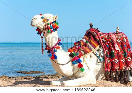 White proud camel resting on the Egyptian beach. Camelus dromedarius. Summertime outdoors.