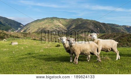 Three New Zealand sheep on some green hilly farmland