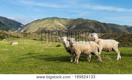 Three New Zealand sheep on some green hilly farmland