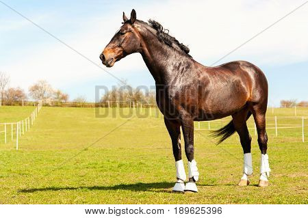 Purebred stallion in bandages standing on pasturage. Multicolored summertime exterior outdoors horizontal image.