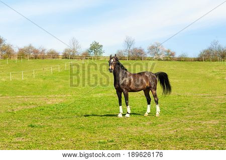 Purebred stallion in bandages standing on pasturage. Multicolored exterior horizontal image. Summertime outdoors.