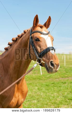 Thoroughbred braided chestnut horse portrait. Multicolored summertime outdoors image.