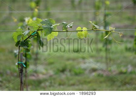 Individual Grape Vine With Immature Grapes