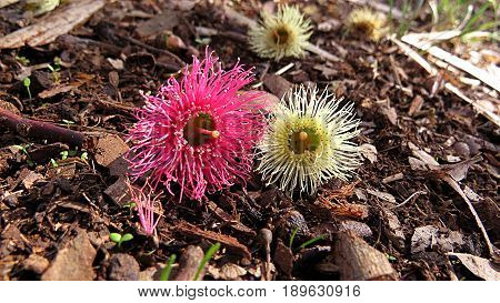 Bright pink and yellow fallen native Australian gum nut tree Eucalyptus blossom flower pair on ground