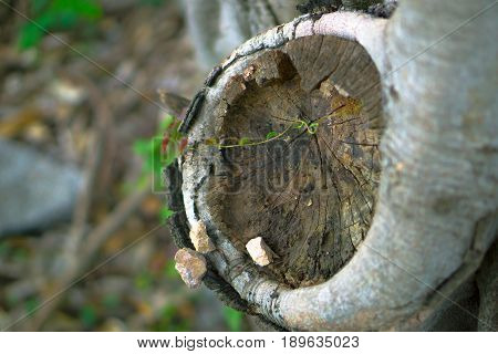 A small green spruce grew through the rotten tree.