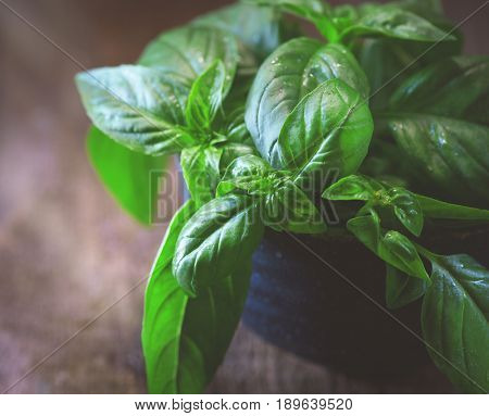 Close-up of fresh basil leaves in a bowl on dark rustic wooden table Green flavoring outdoor. Fresh Basil. Nature healthy. Condiment concept. Mediterranean, Italian cuisine