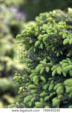 Close-up of Picea abies Inversa, garden spruce. Selective focus and shallow depth of field