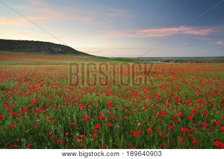 Poppies meadow landscape. Spring nature composition.