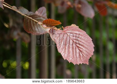 close photo of purple leaves of filbert (Corylus maxima Purpurea), species of hazel tree