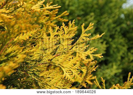 close photo of sear yellow twig of cedar tree