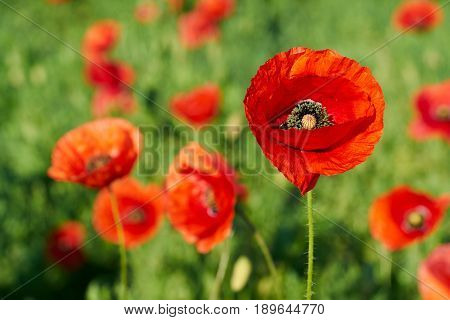 red Poppies on a field in spring