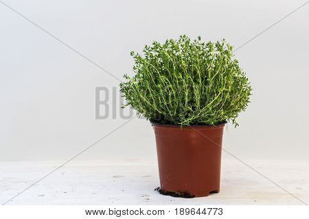 Thyme potted plant against a light gray background with copy space kitchen herbs for fresh and healthy cooking