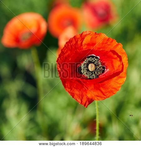 red Poppies on a field in spring in Germany