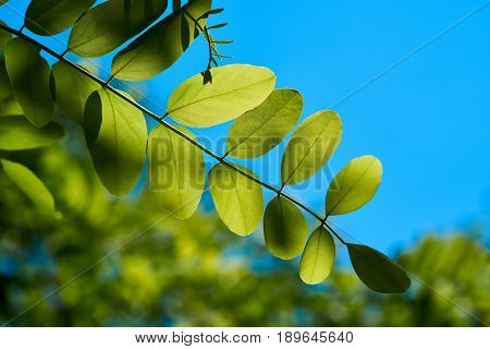 Leaves of a robinia in a Forest in spring