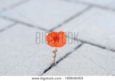 Single Red Corn Poppy Sprouting Between Paving