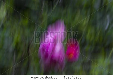 Abstraction using a pink flower and movement