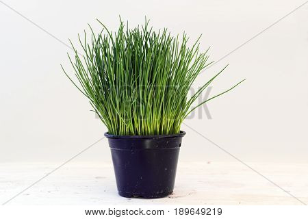 Chives potted plant against a light gray background with copy space kitchen herbs for fresh and healthy cooking